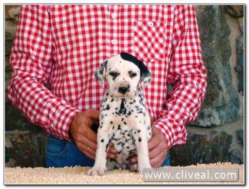 cachorra dálmata catilina de cliveal 2