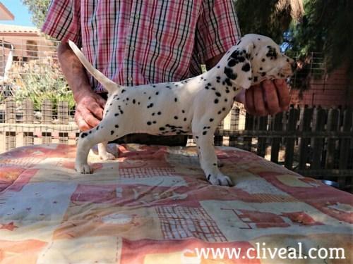 cachorra dalmata cetera de cliveal costado derecho