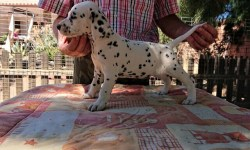 cachorra dalmata cetera de cliveal costado izquierdo