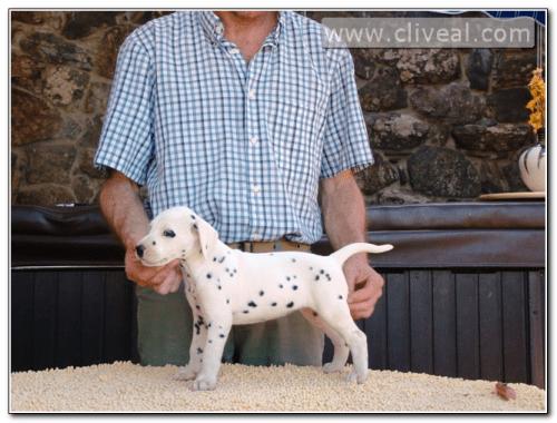 cachorra dalmata llamada exempli gratia de cliveal