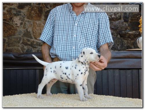 cachorra-dalmata-fruere-hora-de-cliveal