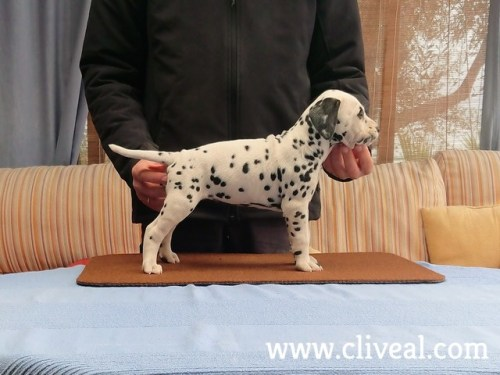 cachorra dalmata phalarica de cliveal