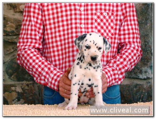 cachorra dálmata reluxi de cliveal 2