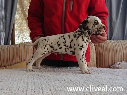 cachorrito dalmata carpathos brunneus de cliveal 1