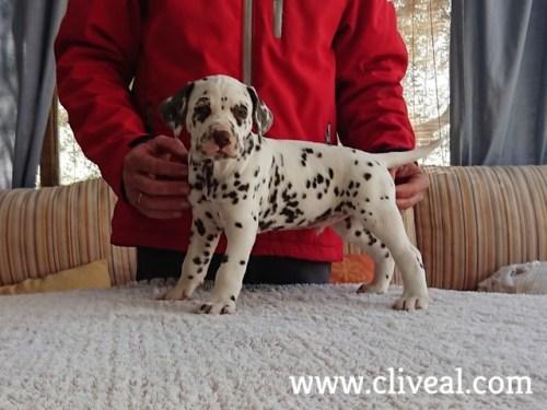 cachorrito carpathos brunneus de cliveal