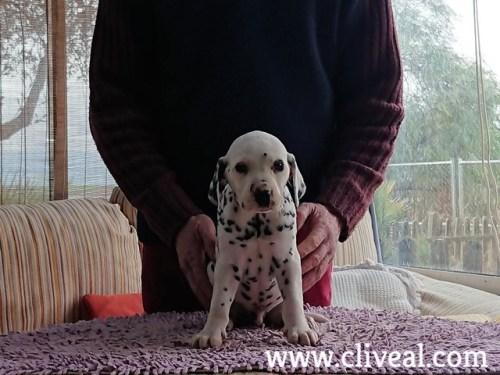 cachorrito dalmata macho