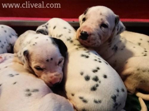 cachorritos con los ojos recien abiertos