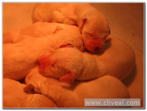 cachorritos dalmatas dormidos después del parto