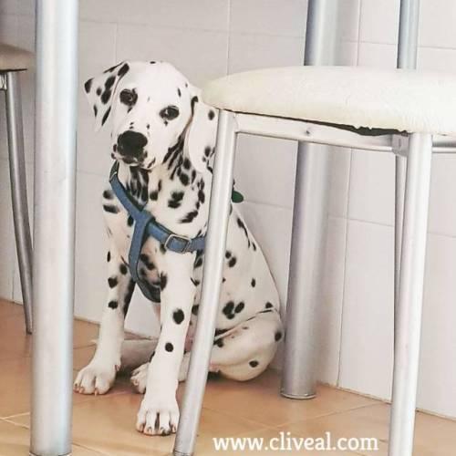 cachorro cliveal