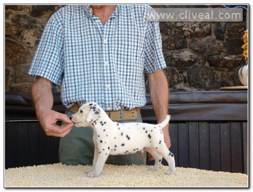 cachorro dalmata llamado admirator de cliveal