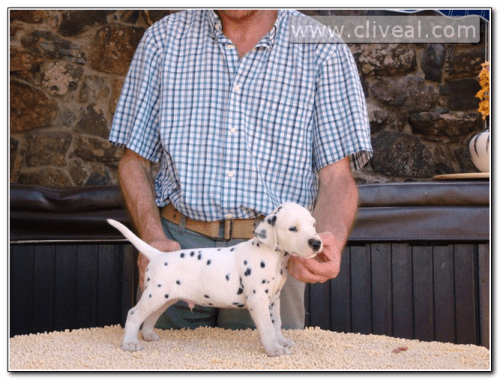 cachorro-dalmata-admirator-de-cliveal