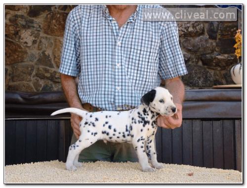 cachorro dalmata agens de cliveal