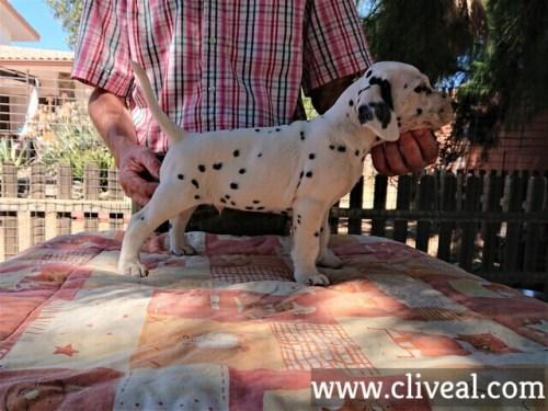 cachorro dalmata ancipitis de cliveal costado derecho