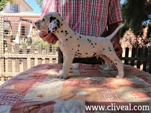 cachorro dalmata ancipitis de cliveal costado izquierdo