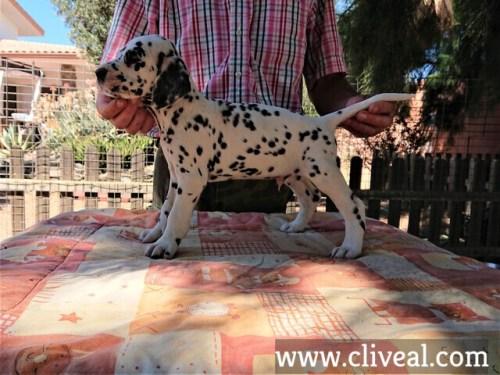 cachorro dalmata angustus aditus de cliveal costado izquierdo