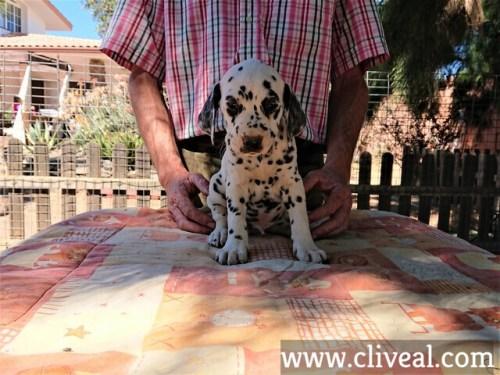 cachorro dalmata angustus de cliveal frente