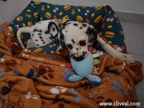 cachorro dalmata cartagena