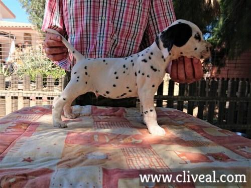 cachorro dalmata catulus de cliveal costado derecho