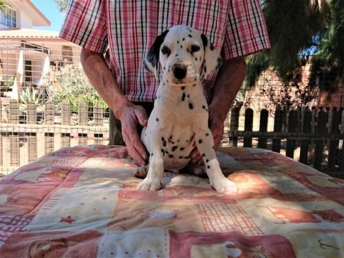 cachorro dalmata catulus de cliveal frente