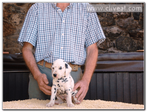cachorro dalmata sentado llamado codex atlanticus de cliveal