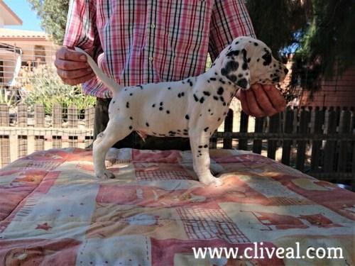 cachorro dalmata danaus de cliveal costado derecho