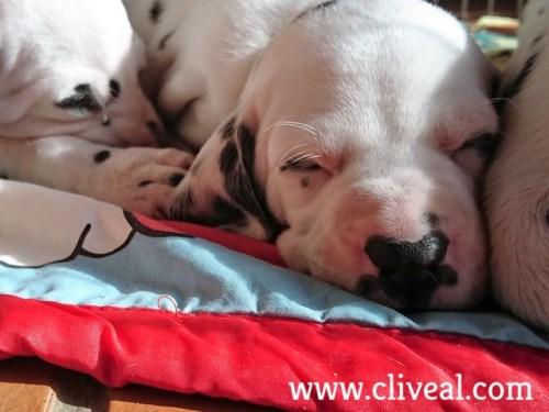 cachorro dalmata dormido