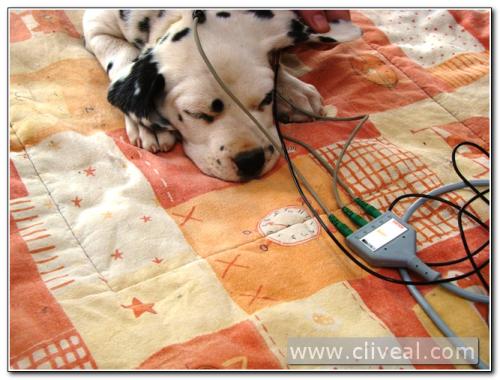 cachorro dálmata haciéndose test baer