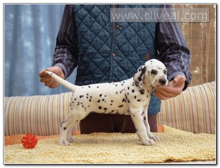 cachorro-dalmata-hembra-Navitas-de-Cliveal-2
