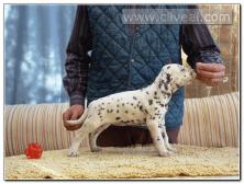 cachorro-dalmata-hembra-color-higado-Australis-de-Cliveal