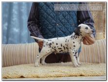 cachorro-dalmata-macho-Corium-de-Cliveal