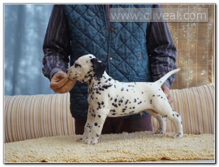 cachorro-dalmata-macho-Sutor-supra-crepidam-de-cliveal