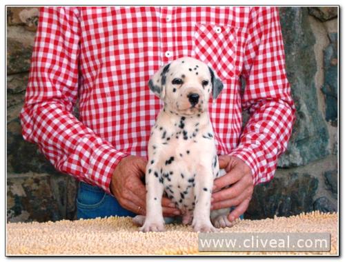 cachorro dalmata modius de cliveal 2