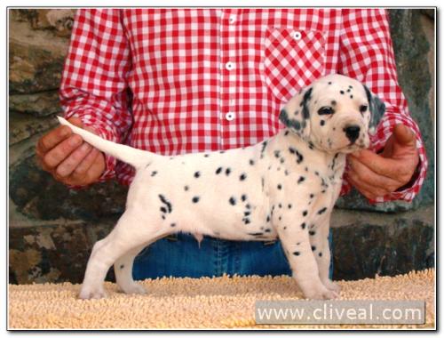 cachorro dalmata modius de cliveal