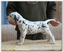 cachorro-dalmata-nimpha-de-cliveal