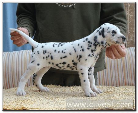 cachorro-dalmata-nimpha