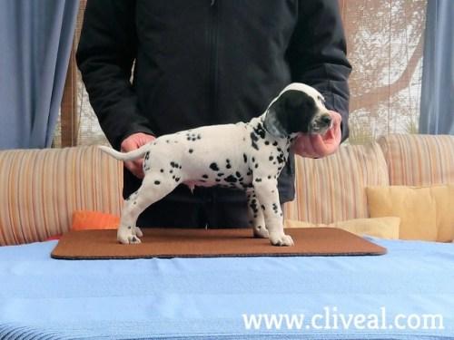 cachorro dalmata spectabilis de cliveal