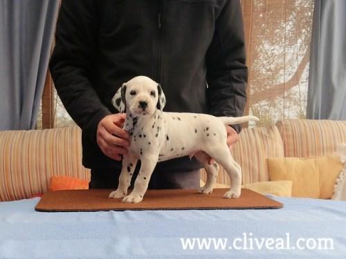 cachorro dalmata vorago de cliveal