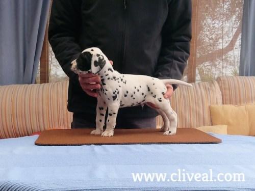 cachorro dalmata xenii de cliveal