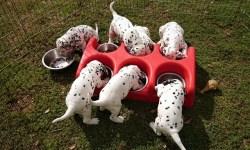 cachorros comiendo pienso