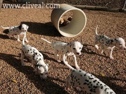 cachorros corriendo
