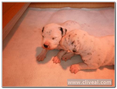 cachorros dalmatas de dos semanas