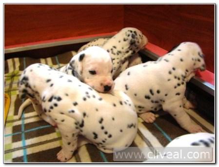 cachorros-dalmatas-de-veinte-dias-1