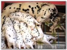 cachorros-dalmatas-de-veinte-dias-3