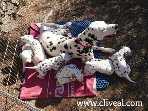 cachorros dalmatas nacidos en 2018