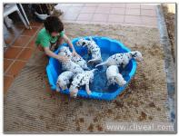 cachorros de dalmata bañados por un niño