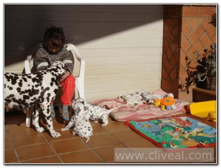 Camada dálmatas jugando con su madre y un niño