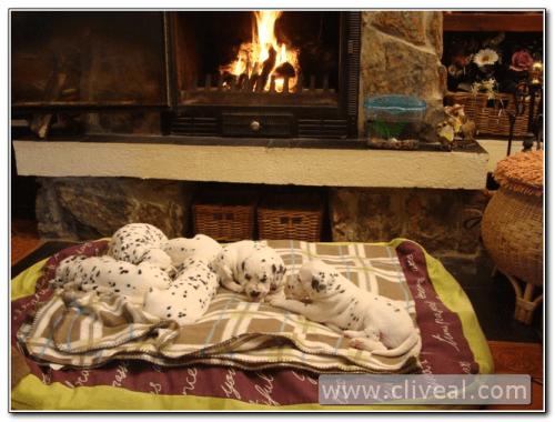 camada de dálmatas durmiendo calentitos