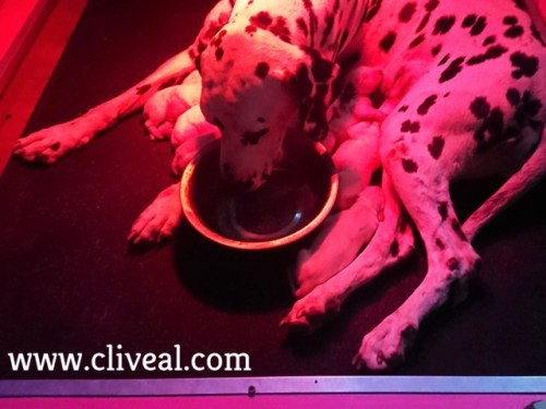 dalmata con cachorros bebiendo