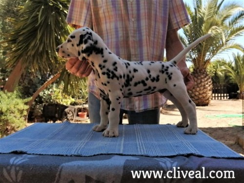 dalmata interdictum de cliveal 1