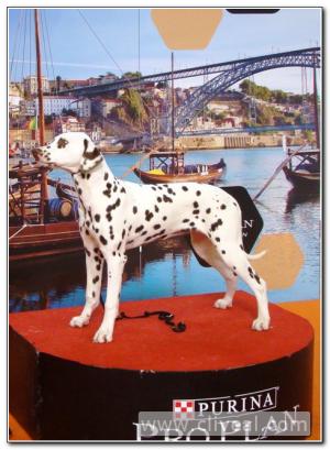 dalmata-puppy-porto-winner-2017